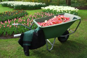 A wheelbarrow with tulips in a garden