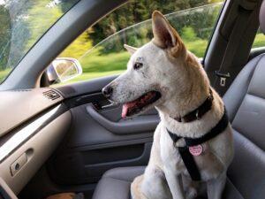 A dog sitting in a car