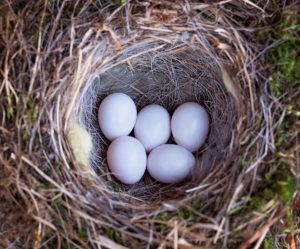 A birds nest containing eggs