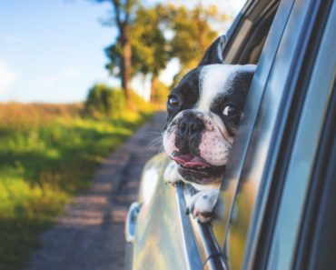 A dog looking out of a car window